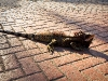 Iguana at The Westin, St. John\'s, USVI